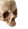 Scientists just uncovered the cause of a massive epidemic using 500-year-old teeth (hoesim) Tags: skull isolated human face eyes dead old archaeological horror white background brain bone body part medicine head terror corpse undead skeleton science education study research anatomy gothic man woman female male terrible physiology biege closeup