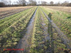 DSC05833 Tanners 40 - 2018 01 17 - Path in Maize Field (John PP) Tags: ldwa tanners tannersmarathon winter 40 miles long distance walkers association january 2018 solo hike johnpp