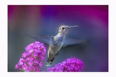 This is my kingdom and it's all pink and purple (Krasne oci) Tags: hummingbird hummer birdinflight birds nature wildbird wildlife flowers purple photographicart artphotography painterly texturedphoto evabartos