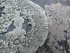 Physcia caesia (Philip_Goddard) Tags: physciacaesia physcia lichens foliose saxicolous southwestengland england unitedkingdom britain british britishisles greatbritain uk europe