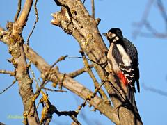 Pico picapinos (Dendrocopos major) (2) (eb3alfmiguel) Tags: aves pájaros carpintero piciformes picidae pico picapinos dendrocopos major
