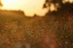 Sunset (pszcz9) Tags: przyroda nature natura kwiat flower zbliżenie closeup bokeh zachódsłońca sunset beautifulearth lato summer sony a77
