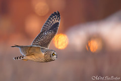 Baby You Can Drive My Car (Short-Eared Owl) (Mitch Vanbeekum Photography) Tags: shortearedowl short eared ear owl flight inflight flying fly sunflare mitchvanbeekum mitchvanbeekumcom canon14teleconvertermkiii canoneos1dx canonef500mmf4lisiiusm nj newjersey