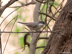Western Orphean Warbler - Oued Sous, Morocco (Gary Woodburn) Tags: western orphean warbler oued sous morocco canon 7d 300mm f4