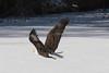 Bald Eagle (Lynn Tweedie) Tags: eagle bald snow ice fly wyandotte wings beak