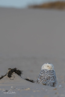 Snowy Owls of New Jersey | 2017 - 36