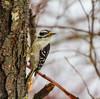 Drenched Downy (John Kocijanski) Tags: woodpecker downywoodpecker bokeh animal bird wildlife nature canon70300mmllens canon7d