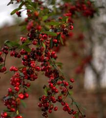 _MG_3211.CR2 (jalexartis) Tags: winter winterberries pyracantha firethorn firethornpyracantha pyracanthaberries lighting