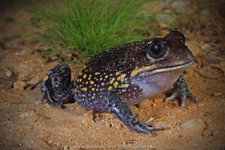portrait: Giant Burrowing Frog