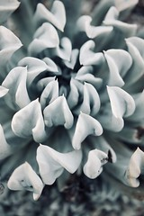 All in together (christinescurr) Tags: succulent macro garden light nature plant