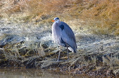 The Stare (Neal D) Tags: bc surrey crescentbeach blackiespit bird heron greatblueheron ardeaherodias