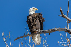 Bald Eagle looking a bit ruffled