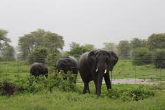 IMG_1725 (thesilvercollection) Tags: kasane botswana december travel elephants elephant herd rain water roadside roadtrip wildlife