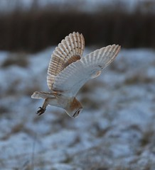 Barn Owl (merseymouse) Tags: barnowl birdsofprey owls raptors wings hunting feathers whiteowl explore talons beak birds nature wildlife whiteowls