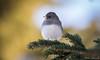 Dark-eyed Junco (Melissa M McCarthy) Tags: darkeyedjunco junco bird songbird small tiny cute animal nature outdoor branch neutral grey white stjohns newfoundland canada canon7dmarkii canon100400isii