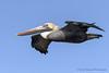 Brown Pelican (Kevin James54) Tags: brownpelican nikond850 pelecanusoccidentalis pelican tamron150600mm wilmington animals avian bird fortfisher kevingianniniphotocom