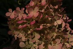 jdy256XX20170913a9664Bias-2 stops.jpg (rachelgreenbelt) Tags: ghigreenbelthomesinc usa eudicots greenbelt northamerica midatlanticregion ouryard asteridsclade ordercornales maryland americas familyhydrangeaceae magnoliophyta asterids cornales cornalesorder floweringplants genushydrangea hortensia hydrangeafamily hydrangeaceae hydrangeaceaefamily spermatophytes hydrangeapaniculatavanillastrawberry2011
