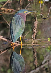 CAE008118a (jerryoldenettel) Tags: 180117 2018 ardeidae butorides butoridesvirescens fl leeco monocots pelecaniformes sixmilecypresssloughpreserve bird heron