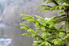 🌲😇 (annawiesbeck) Tags: wald forest green tanne grün bäume nadelbaum natur passau ilz fluss wasser bayern