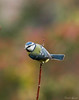 single (Danilo Agnaioli) Tags: collinedelperugino umbria italia perugia natura cinciarella bird inverno febbraio 2018 canon7dmarkii sigma150500 colori