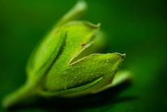 "Macro Mondays ""Monochrome"" (Michael J P) Tags: macromondays monochrome green leaf bud hmm nikon nikond610 nikkor60mmf28macro nikkor summer"