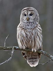 Barred Owl  (Strix varia) (vladimirmorozov) Tags: barredowl strixvaria
