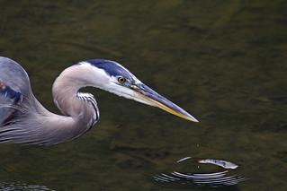 Great blue heron, Ardea herodias patiently waiting
