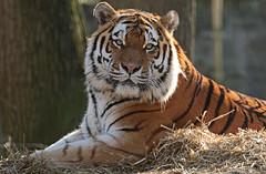 siberian tiger Taymir Ouwehands BB2A2670 (j.a.kok) Tags: tijger tiger amurtiger amoertijger siberischetijger siberiantiger pantheratigrisaltaica kat cat animal siberia mammal zoogdier dier ouwehands taymir predator