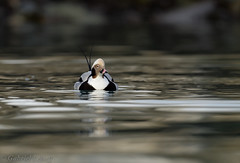 Harelde boréale-Clangula hyemalis - Long-tailed Duck 0659_DxO.jpg (Zoizeaux de Gabriel) Tags: 500mmf4 birdsafariofsweden clangulahyemalis danielgreen finnmark hareldeboréale longtailedduck nikond5 norvège oiseauxnet varanger
