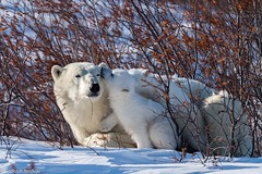 Some rest (Nedko Nedkov) Tags: wildlife mum cub polarbear wapusk