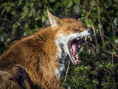 Fangs (mond.raymond1904) Tags: fox dodder mouth open teeth road lower fangs
