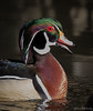 Wood Duck (Melissa M McCarthy) Tags: woodduck duck drake male waterfowl waterbird bird animal nature wildlife outdoor colorful green purple brown quacking portrait iridescent colors stjohns newfoundland canada canon7dmarkii canon100400isii