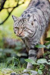 Wildcat walking in the vegetation (Tambako the Jaguar) Tags: wildcat wild cat feline walking vegetation grass plants portrait face tierparkgoldau zoo switzerland nikon d5