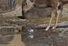 シカとハクセキレイ (2) (myu-myu) Tags: nature animal sika deer bird whitewagtail motacillaalbalugens nikon d500 鹿 シカ ハクセキレイ japan