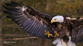 Bald Eagle Close Up_T3W2321