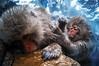 Grooming (moaan) Tags: yamanouchi nagano japan monkey snowmonkey japanesemacaque bathingmonkey jigokudani jigokudanispa jigokudanisnowmonkeypark hotsprings onsen animal domesticanimal ricohgxr gxrmounta12 superangulon21mmf34 leicasuperangulon21mmf34 utata 2018