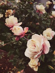 Roses (andieharsany) Tags: california willowglen nature flowers roses