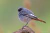 Black redstart - male (Cristiano Tedesco) Tags: redstart black spazzacamino codirosso bird birds colors wild wildlife birding