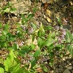 Cunila origanoides (wild oregano) (Highland County, Ohio, USA) 2 thumbnail