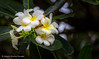 Frangipani (Askjell) Tags: 1887 flower frangipani garden plumeria raffles raffleshotel singapore singaporesling sirstamfordraffles tropic
