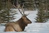 Siesta on Snow (Roy Prasad) Tags: banff lakelouise canada alberta prasad royprasad sony a7rm3 a9 a7r winter snow travel elk antelope