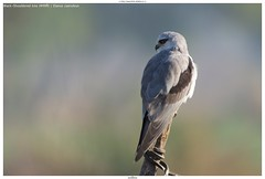 Black-winged kite (कपासी) / Elanus caeruleus (jhureley1977) Tags: blackwingedkite कपासी elanuscaeruleus birds birding indiabirds indiabirding2018 ashjhureley avibase naturesvoice bbcspringwatch rspbbirders sanctuaryasia orientbirdclub jabalpur jabalpurbirds ashutoshjhureley