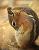 20160821_48 Golden-mantled Ground Squirrel (Spermophilus lateralis)? | Bryce Canyon, Utah (ratexla) Tags: ratexla'sgreentortoisetrip2016 ratexlascanyonsofthewesttrip2016 nonhumananimals greentortoise canyonsofthewest 21aug2016 2016 canonpowershotsx50hs bryce brycecanyon utah usa theus unitedstates theunitedstates america northamerica nordamerika earth tellus photophotospicturepicturesimageimagesfotofotonbildbilder wanderlust travel travelling traveling journey vacation holiday semester resaresor ontheroad hiking hike sommar summer beautiful nature life organism nonhumananimal animal animals djur cute cool wild wildlife vild vilda biology zoology goldenmantledgroundsquirrel spermophiluslateralis