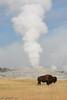 Buffalo at Old Faithful Geyser (templesofzoom) Tags: buffalo old faitful geyser ynp yellowstone road trip