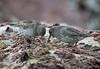 Purple Sandpiper (Calidris maritima) 3.2.2018 (1) (wildlifelover69) Tags: purplesandpiper calidrismaritima portlandbill isleofportland dorset 322018