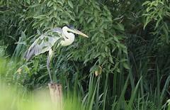 Waiting... (7sombreros) Tags: garzamora ardeacocoi heron nature deepnature simplelife birdwatching birding ecotravel wildlife naturereserve humedalcostero wetland
