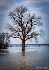 Boom in het Water (Hans van Bockel) Tags: deventer overijssel nederland nl nikon d7200 1680mm worp boom tree water ijssel spoorbrug hoogwater rivier river luminar lightroom