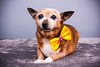 Sassy (Alfred Kirst) Tags: akiii photography alfred kirst iii chihuahua rescue transport ak3photography akiiiphotography canon chi dog planopetphotographer planotx planotexas planoweddingphotographer texas cute cutepuppy cutie female foster fosterdog fosterpuppies plano puppies puppy zukepets alfredkirstiii chihuahuarescueandtransport