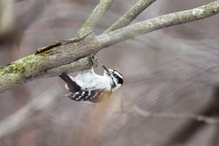 arcadia2018-104 (gtxjimmy) Tags: nikond7200 nikon d7200 tamron 150600mm bird new england arcadia wildlife sanctuary audubon society mass audubbon massachusettseasthamptonbird woodpecker hairywoodpecker