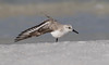 Beach Yoga (Gary McHale) Tags: sanderling wing stretch north beach de soto florida fort